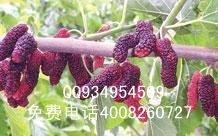 大量供应果桑苗质量好价格优惠