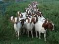 养羊的牧草利用